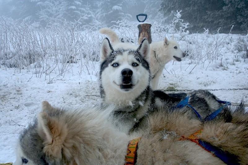 chiens traineaux Lyon