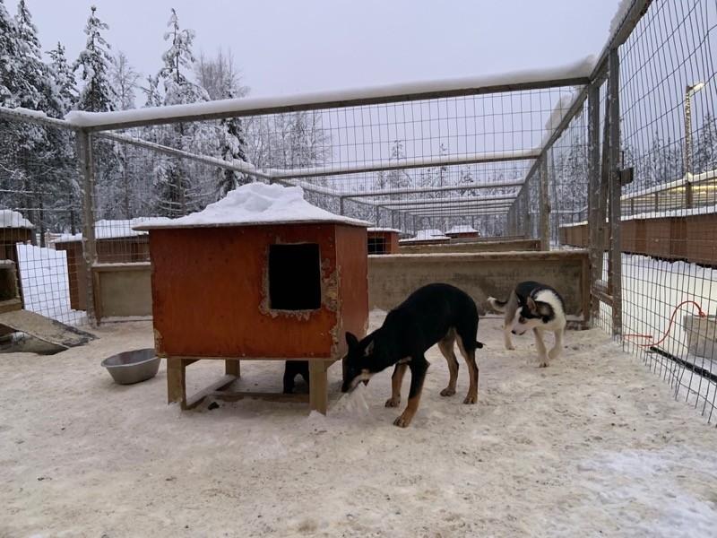 Chein de traineau Laponie