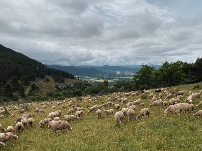 moutons dans le Vercors
